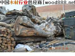 红豆杉原料