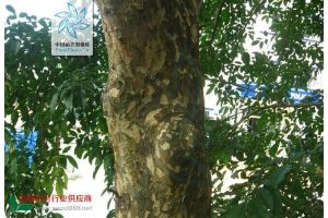 名木百科-苦枥木