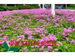 大叶黄杨球、红花酢浆草、金边黄杨、马尼拉草坪、小叶女贞造型树