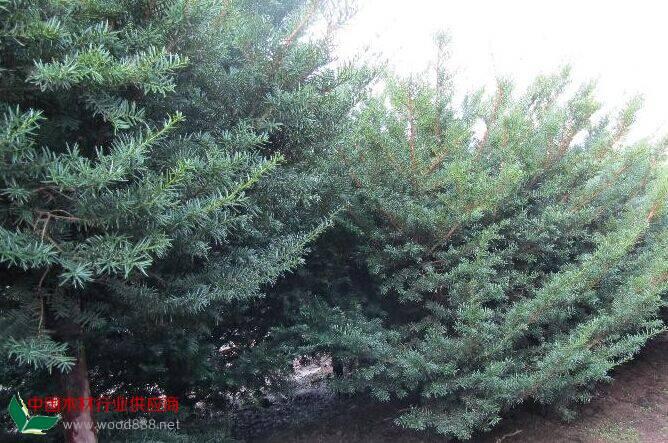 紫杉木材致密坚硬,材质耐朽