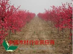 垂柳、红叶碧桃、鹅掌楸、枇杷、马褂木、洒金柏、速生杨、紫丁香