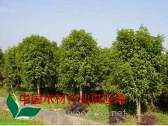 新疆杨、金森女贞、毛白杨、金桂、合欢、木槿、水杉、龙柏、云杉
