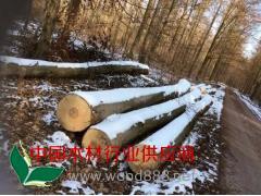 德国新季砍伐榉木原木
