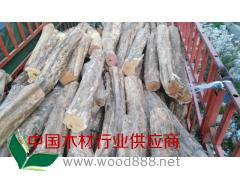 低价出售榨榛木原木(柘木,黄金刺)