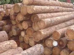 出售进口俄罗斯落叶松原木