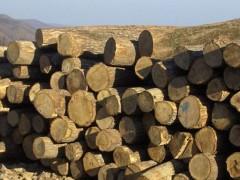 出售进口俄罗斯桦木原木