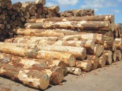 大量批发新西兰辐射松原木 澳松原木 景观河道松木桩 原木桩