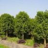 苗木售价;香花槐、枸骨球、龙爪槐、八仙花、朴树、金银木、榉树