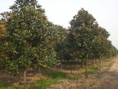 工程苗木价格:椤木石楠、乌桕、广玉兰、枫杨、紫薇、柿树、香椿