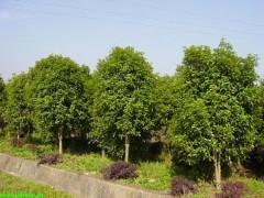 工程苗木报价:臭椿、木槿、西府海棠、湿地松、黄山栾树、八月桂