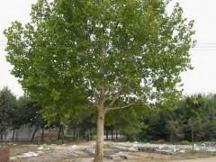 苗木价格:云杉、垂丝海棠、白蜡、八月桂花、重阳木、腊梅、法桐