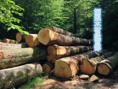 优质白松原木批发