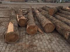 优质油柏木原木直销