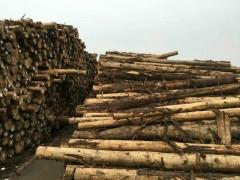 优质柏木原木批发