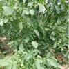 种植技术石榴/石榴苗/石榴树苗/突尼斯软籽石榴树苗价格