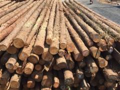 直售品质优廉湿地松湿地松木桩工程专用