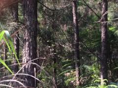 十年以上树龄湿地松湿地松木桩直售