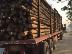 出售一万立方优质湿地松木桩批发