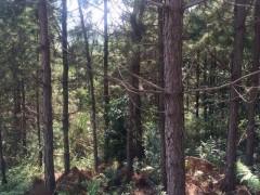 工程专用品质优廉湿地松湿地松木桩林厂直售