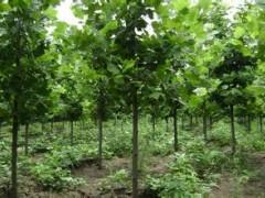 长期种植 优质速生法桐苗  工程绿化速生法桐苗木