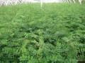 山东郓城大地苗木种植合作社-产品图片