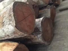 赞比亚巴花 巴花原木 一手货源大径巴西花梨原木