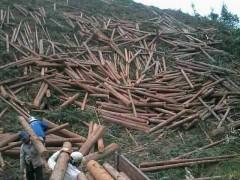 杉木原木 本土原木 杉木檩条
