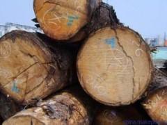 基地常年供应搞品质原木 梧桐木、香椿木 规格齐全