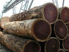 自贸区原木缅甸进口木材精品缅甸柚木大口径