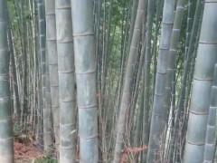 厂家直销 大量楠竹批发 长期供应 货源稳定