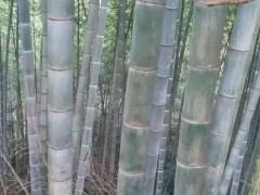 自产自销 楠竹批发 精品楠竹 各种规格 大量有货