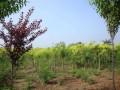 河北亿利达种子苗木公司—产品图片