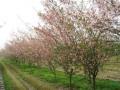 江苏沭阳绿之园花木总场-产品图片