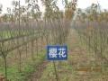 山西省绛县山汪苗木种子专业合作社—产品图片