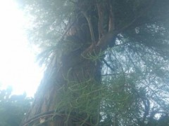 长期大量制作 池杉(落叶松) 水杉木制品 各种木制品均可定做