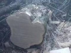 专业批发枫木原木,枫木板材
