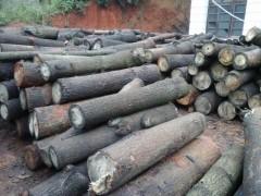 大量梧桐原木找买家,各种规格梧桐原木批发