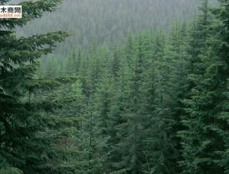 铁杉苗营林技术