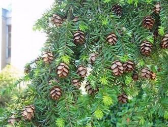 铁杉常见种类