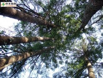 进口木材名称国标 : 铁杉