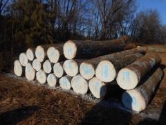 美国滨州红橡234面清长度7尺以上直径12寸以上大量出售