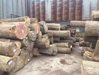 一手货源北美山核桃原木现货认准美国CK森林木业价格合理