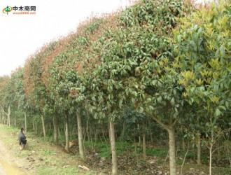 苗木养护管理