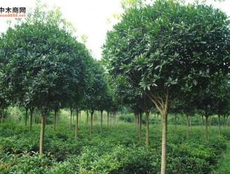 苗木的分类及形态特征