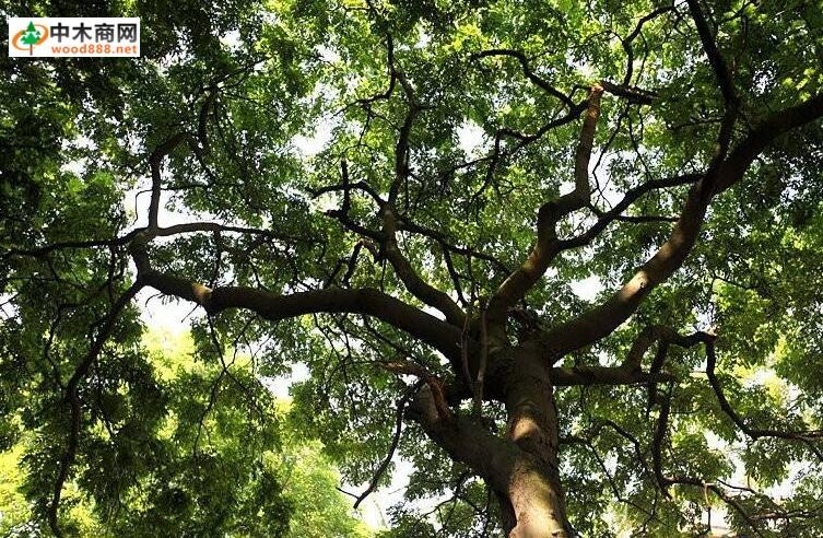 苏木树图片大全