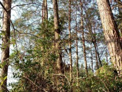 湖南自家山林出售,马尾松原木出售
