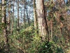 马尾松原木出售木材直径30~80cm