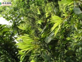 楠木病虫防治