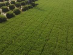 草坪大量供应百慕大与黑麦草混播草坪低价