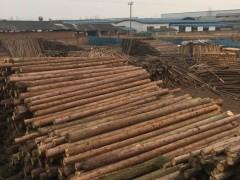 建明木业长期大量出售柳杉原木,各种规格